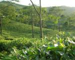 Theens svar på den fineste champagne: First Flush Darjeeling